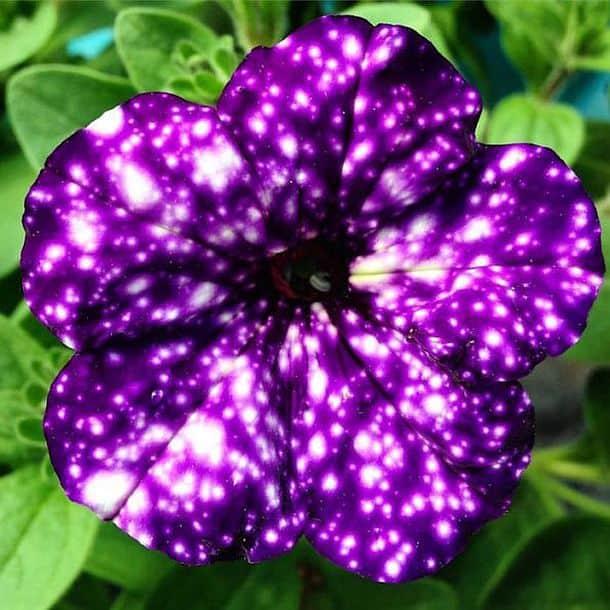 Семена петунии с галактической расцветкой Night Sky