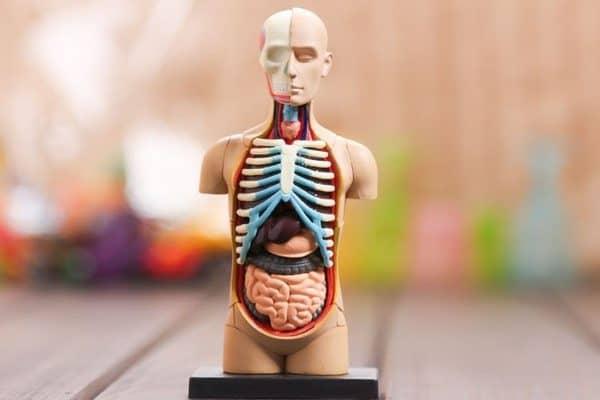 Миниатюрный разборный анатомический манекен