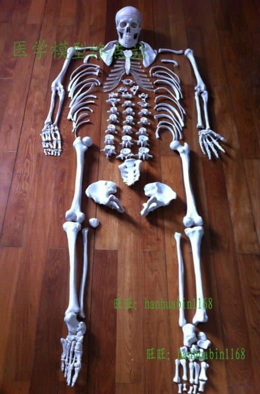 Пластиковая модель человеческого скелета в натуральную величину