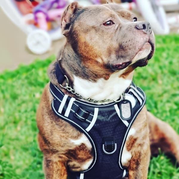 Упряжка для крупных собак Babyltrl Big Dog